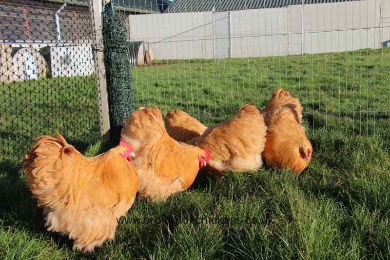 Buff  orpington chicken img_3666