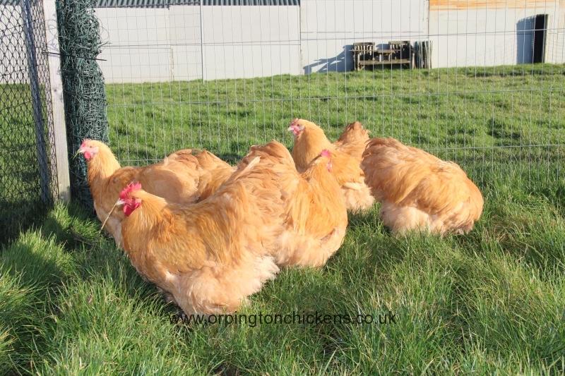 Buff  orpington chicken img_3674