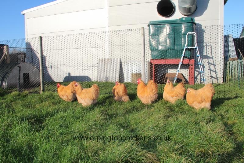Buff  orpington chicken img_3683