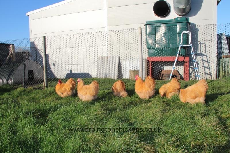 Buff  orpington chicken img_3684