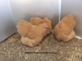 Buff  orpington chicken cimg0288