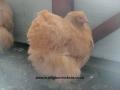 Buff  orpington chicken cimg1791