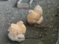Buff  orpington chicken cimg1807