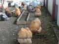 Buff  orpington chicken cimg1810