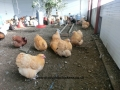 Buff  orpington chicken cimg1816