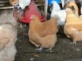 Buff  orpington chicken cimg1826