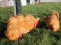Buff  orpington chicken img_3667