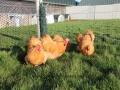 Buff  orpington chicken img_3668