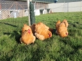 Buff  orpington chicken img_3669