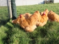 Buff  orpington chicken img_3672
