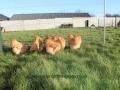 Buff  orpington chicken img_3675