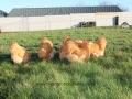 Buff  orpington chicken img_3676