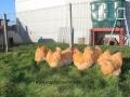 Buff  orpington chicken img_3680