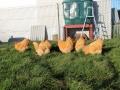 Buff  orpington chicken img_3681