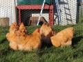 Buff  orpington chicken img_3685