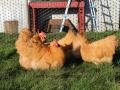 Buff  orpington chicken img_3686