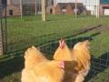 Buff  orpington chicken l1060302
