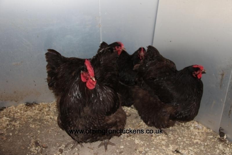 Chocolate orpington chicken img_3249