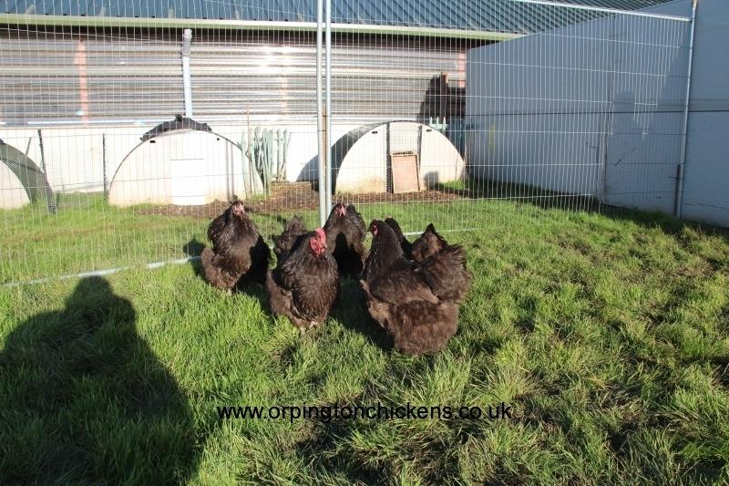 Chocolate orpington chicken img_3838