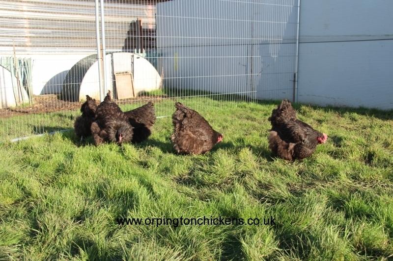 Chocolate orpington chicken img_3843