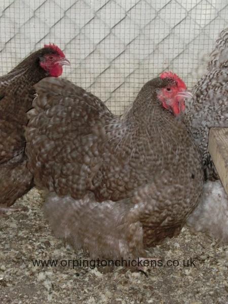 Chocolate Cuckoo orpington chicken cimg0114