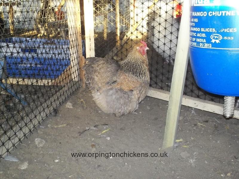 crele orpington chicken 100_0104
