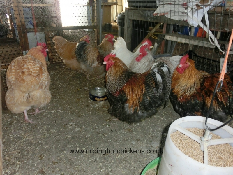 crele orpington chicken cimg1837