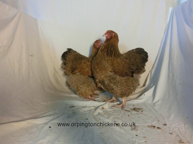 crele orpington chicken cimg2269