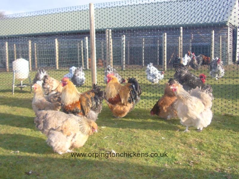 crele orpington chicken l1060009