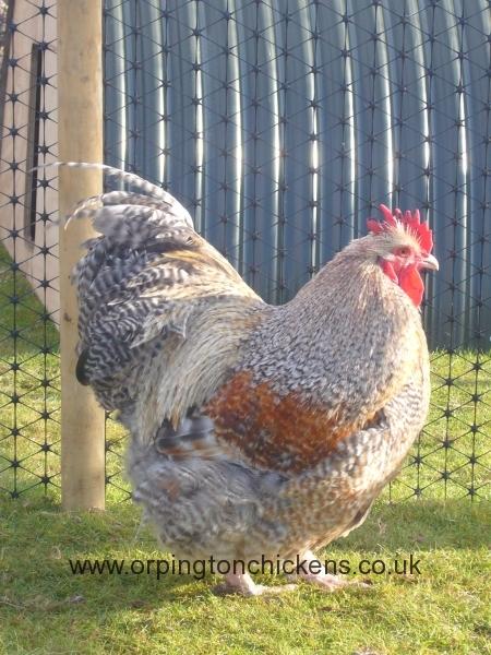 crele orpington chicken l1060010