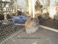 crele orpington chicken 100_0105