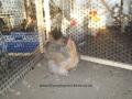 crele orpington chicken 100_0107