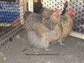 crele orpington chicken 100_0108