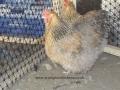 crele orpington chicken 100_0112