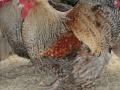 crele orpington chicken cimg0157