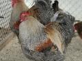crele orpington chicken cimg0162