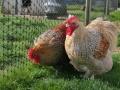 crele orpington chicken cimg1562