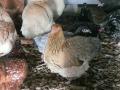 crele orpington chicken cimg1796