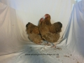 crele orpington chicken cimg2268