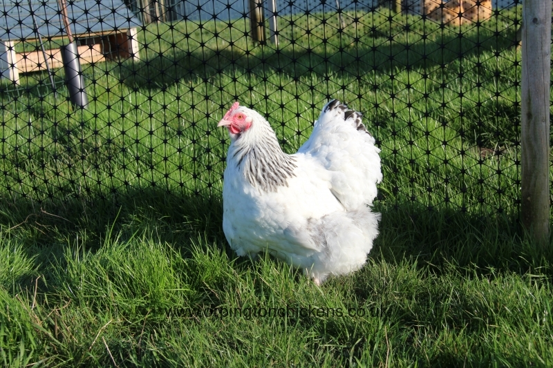 Delaware orpington chicken img_3913