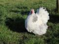 Delaware orpington chicken  _3923