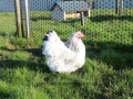 Delaware orpington chicken img_3932