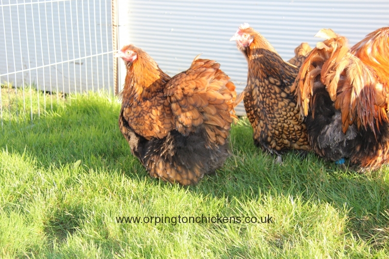 Gold laced orpington chicken img_3441