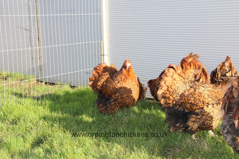 Gold laced orpington chicken img_3447