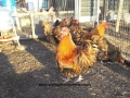 Gold laced orpington chicken 100_0094