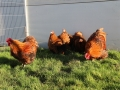 Gold laced orpington chicken img_3469