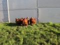 Gold laced orpington chicken img_3490