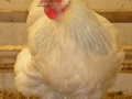isabel partridge orpington chicken l1060063