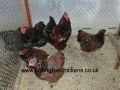 Jubilee orpington chicken cimg0120