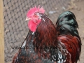 Jubilee orpington chicken img_1202